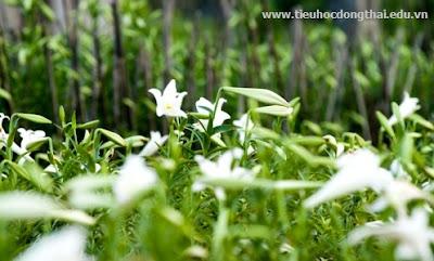 Hoa loa kèn - Hoa của tháng 4