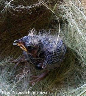 Burung Branjangan - Tingkah Laku Burung Branjangan Memberi Semangat Petani Tebu