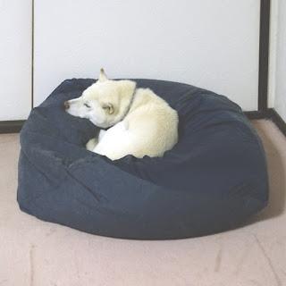 『犬をダメにするクッション』に寝ている白柴チロ