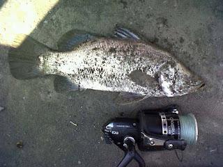 jenis ikan air payau-baramundi