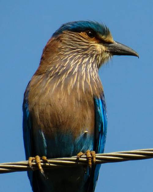 Picture of Indian roller - Coracias benghalensis