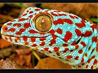 Gecko tokay mascota