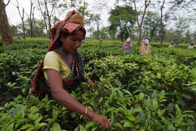 Workforce guideline lands tea gardens in trouble
