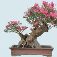 Sakura Tanaman Bonsai Cantik Disenangi Kaum Hawa Centralbonsai Com Berbagi Ilmu Tanaman Bonsai