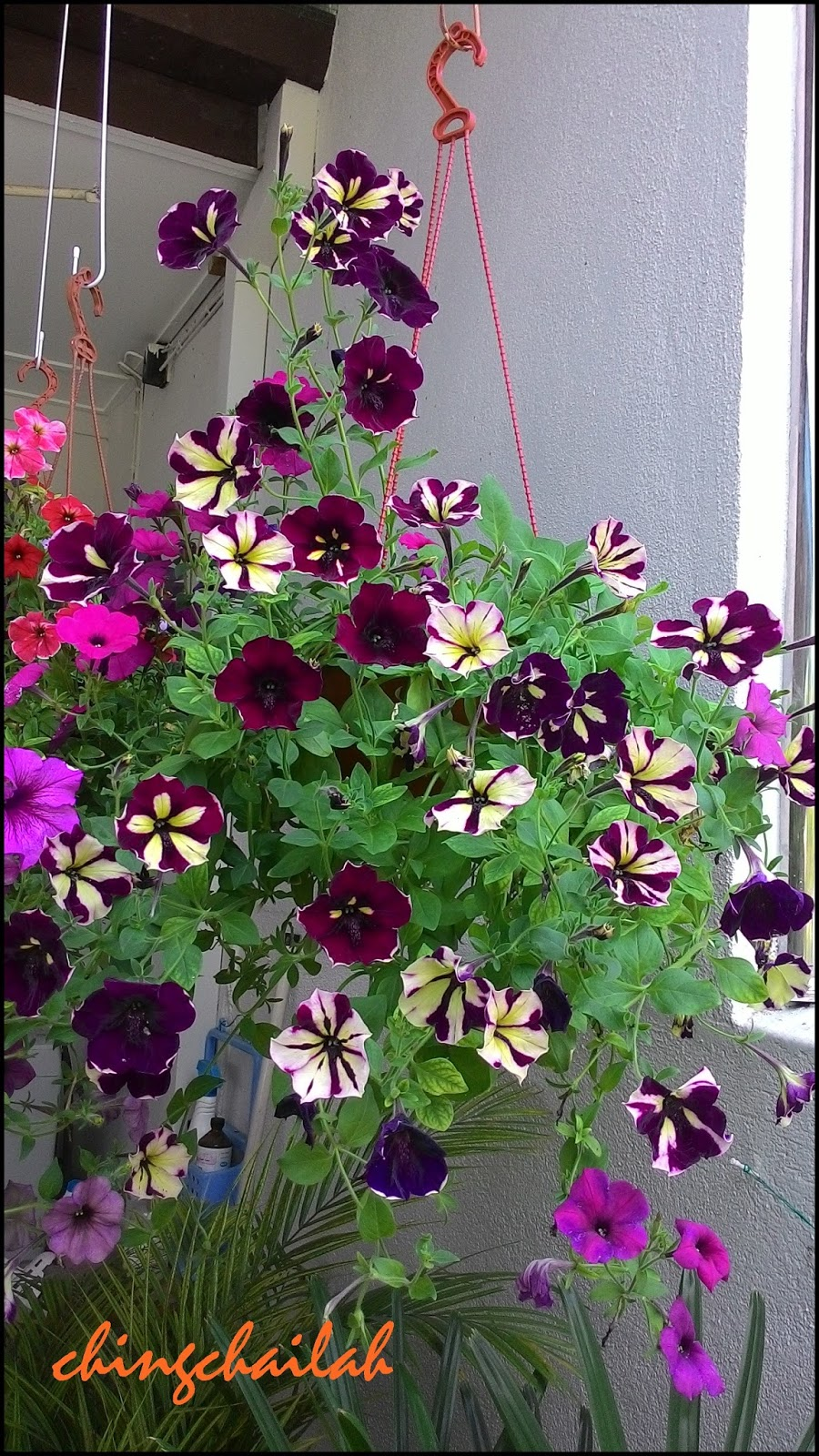 Simple living in nancy growing petunias in hanging pots - Growing petunias pots balconies porches ...