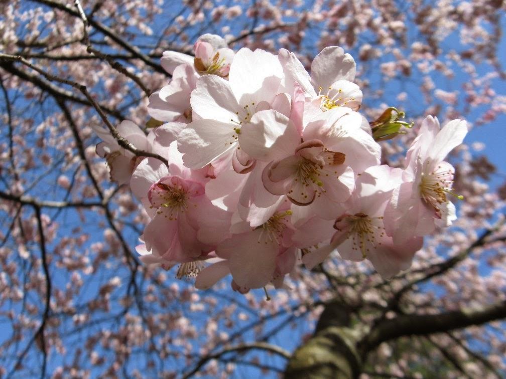 Prunus serrulata Amanogawa Japanese Flowering Cherry blooms by garden muses-not another Toronto garden blog