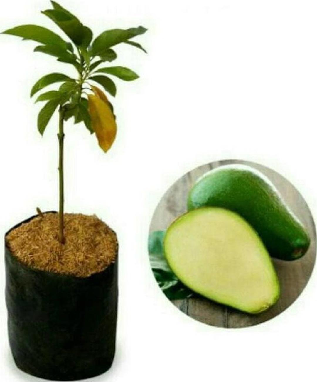 Ready! Sedia Bibit Buah Alpukat Non Atau Tanpa Biji Super Unggul Bibit Biji Gsp Kota Bogor #jual bibit buah buahan