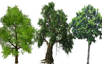 देशी-विदेशी झाडे; संशयकल्लोळ आणि निरसन : एक विदेशी झाड दहा स्थानिक झाडांना वाढू देत नसेल तर दहापट प्राणवायू निर्मिती आणि सावली कमी होते!