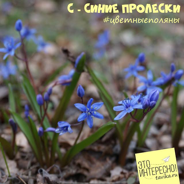 Пролески. Первоцветы Крыма
