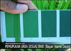 Pemupukan Urea sesuai bagan warna daun (BWD)