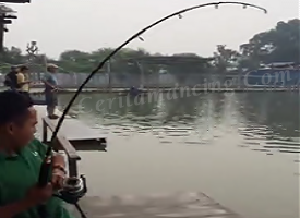 Strike Monster Kerapu Kertang Di Kolam Pemancingan