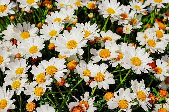 hình hoa cúc trắng