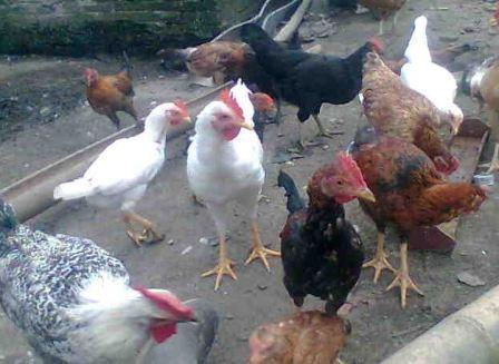 Cara Mengobati Penyakit Tipus Pada Ayam Ternak Ayam