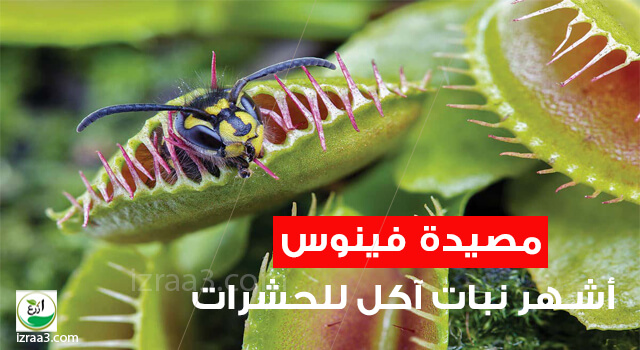 مصيدة فينوس : أشهر نبات آكل للحشرات