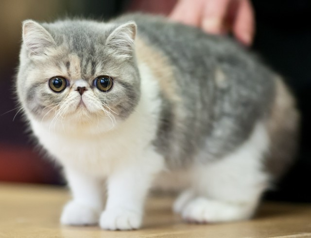 Harga kucing exotic shorthair
