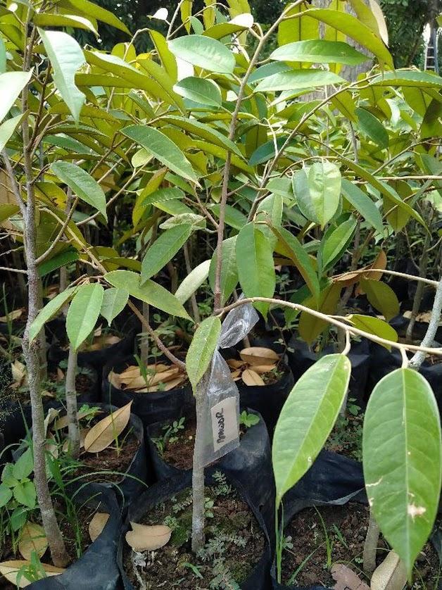 bibit durian bawor kualitas super unggul Kalimantan Barat
