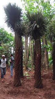 Palm moreli