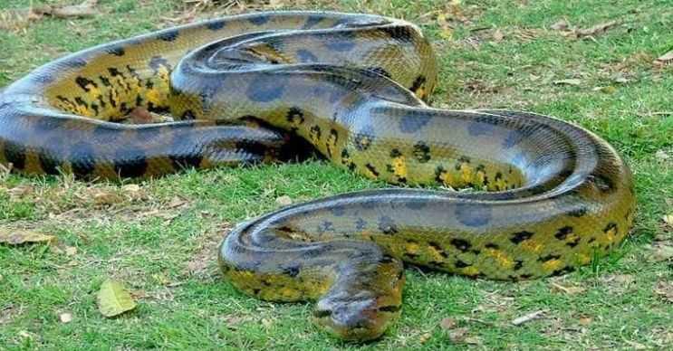 Ağlı pitonu da diğer piton yılanları gibi zehirsizdir, avlarını boğarak öldürür.
