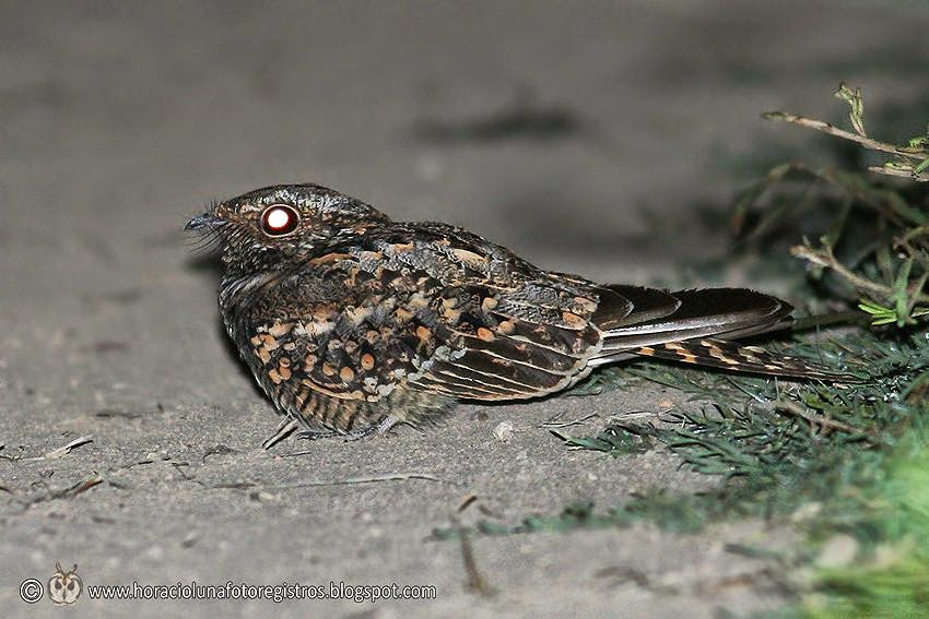 Scissor tailed Nightjar