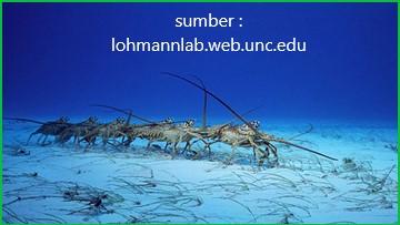 selama migrasi, lobster duri akan tetap bergerak menuju kutub utara