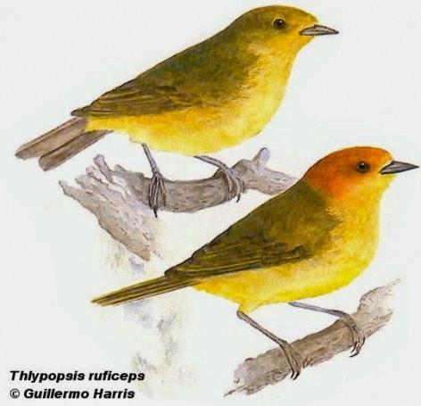 Tangará alisero, Thylpopsis ruficeps