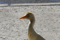 Cattle egret head, Whole Foods, Kailua - © Denise Motard