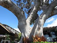 Giant ficus tree on Ali'i Drive, Kailua-Kona, Big Island, HI