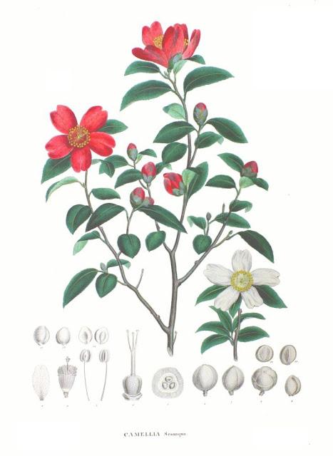 Hình vẽ Sở - Camellia sasanqua - Nguyên liệu làm thuốc Có Chất Độc