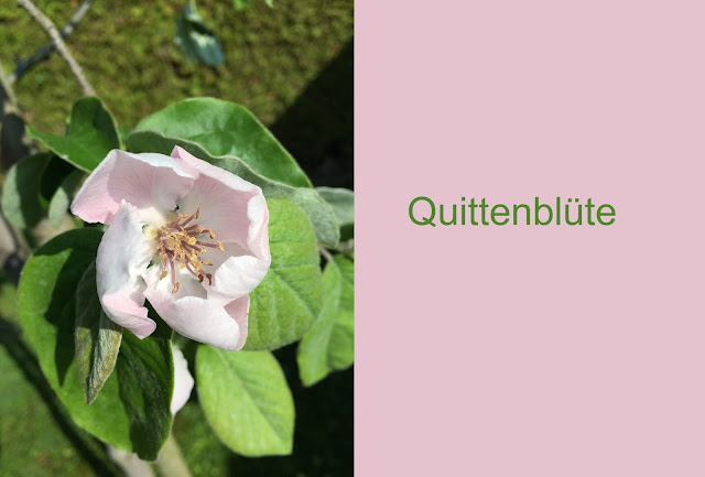 pinke Blüte am Quittenbaum