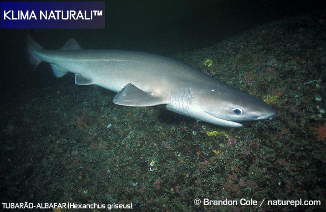 Tubarão Albafar