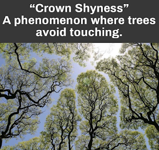 Crown Shyness is a phenomenon where treetops avoid touching