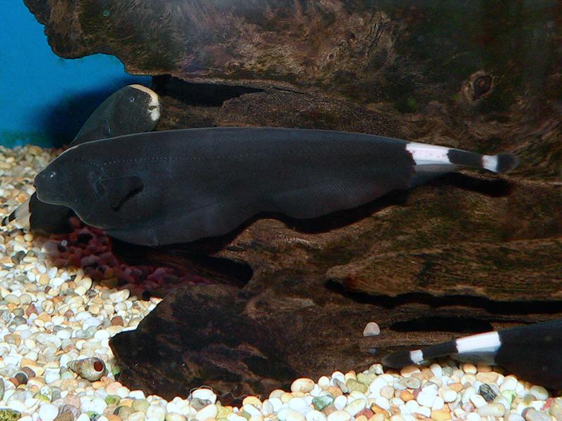 Mengenal Ikan Black Ghost