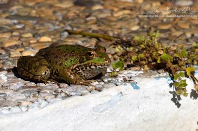 Rana Común - Pelophylax Perezi (fotografia-de-naturaleza.blogspot.com)