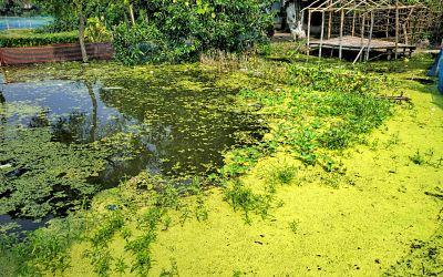 ইউট্রোফিকেশন কাকে বলে algal bloom