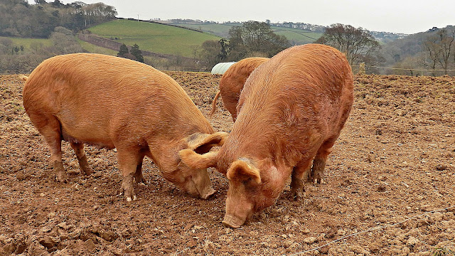 Pigs in Cornwall
