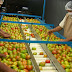 Productores y autoridad sanitaria toman medidas para garantizar exportaciones de jitomate y chile fresco a EU