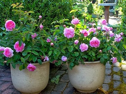 Cara Budidaya Bunga Mawar Dalam Pot