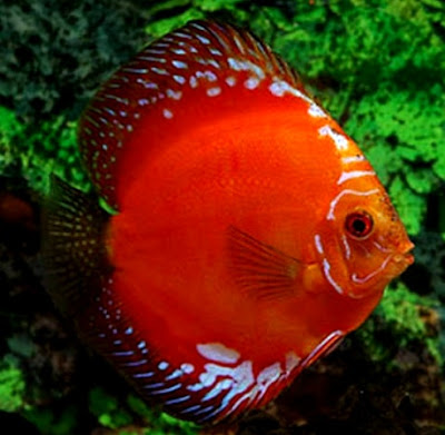 Harga pasaran Ikan Discus Marlboro Red