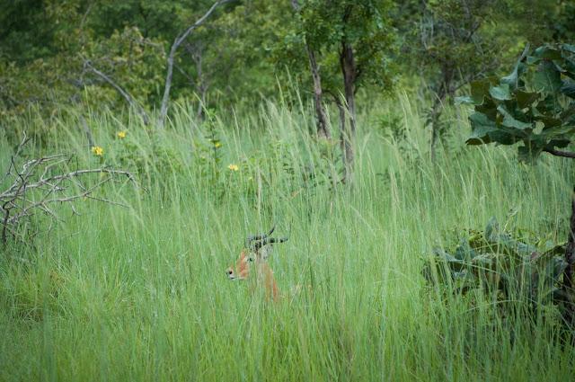 Impala, Mole National Park, Ghana