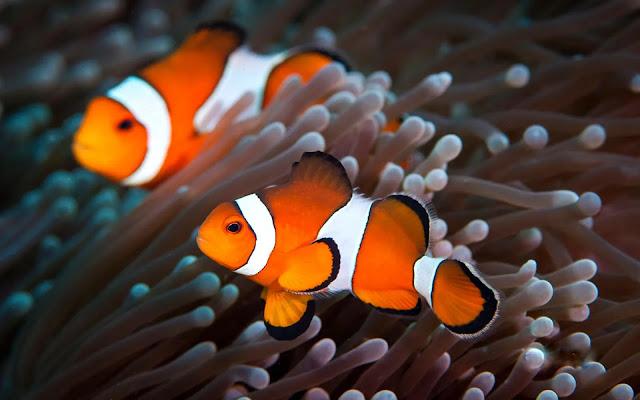 Kupas Tuntas Ikan Clownfish: Salah Satu Ikan Hias Terpopuler