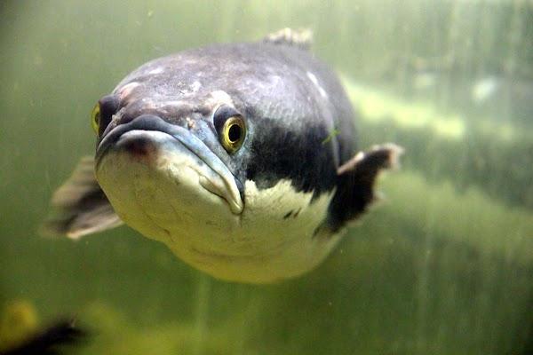 Budidaya Ikan Gabus yang Menguntungkan