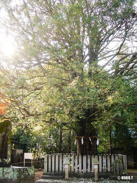 和歌山県新宮市「熊野速玉大社」の梛のご神木