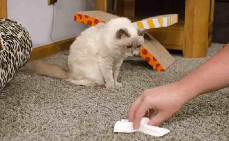 Cara Membersihkan Noda dan Bau Urin Kucing di Karpet