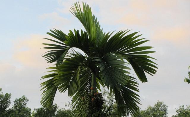 palmera de nuez de betel, nuez de areca Areca catechu