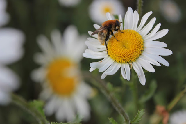 Carder bee sitting on ox eye daisy flower