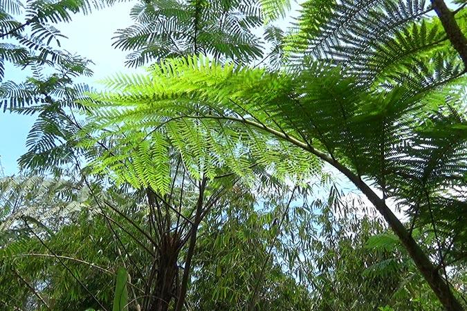 Dlium Tiang fern (Cyathea contaminans)