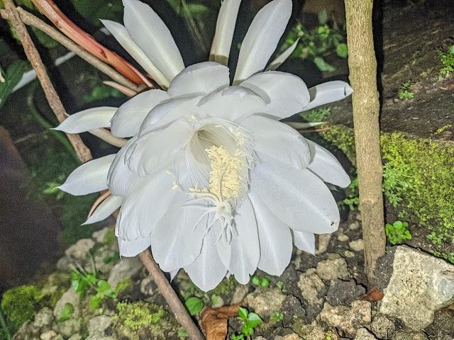 Berikut Beberapa Mitos Bunga Cangkok Wijoyo Kusumo: Dari Pembawa Untung Sampai Hal Gaib