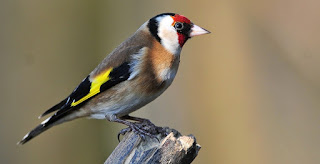 اجمل صور طائر الحسون في الطبيعة