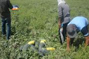 Cuaca Panas Bawa Berkah Untuk Petani Semangka
