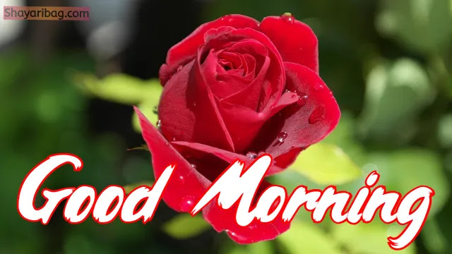 Good Morning Flowers Rose Images